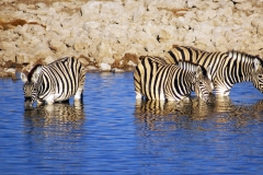 Zebras am Wasserloch in Namibia